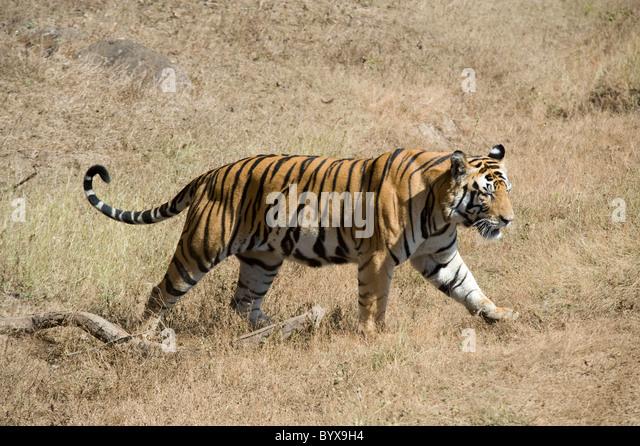 Bengal Tiger Panthera tigris tigris India - Stock-Bilder