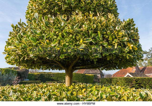 Holly tree garden stock photos holly tree garden stock for Garden law trees