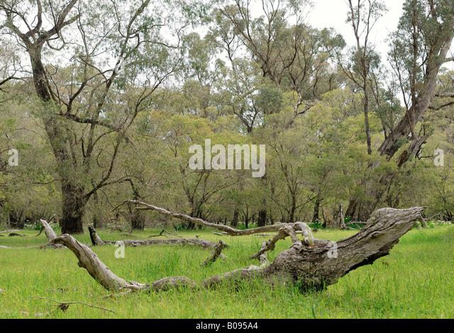 Forest glade in Tuart Forest National Park near Busselton, Western Australia, Australia - Stock Image