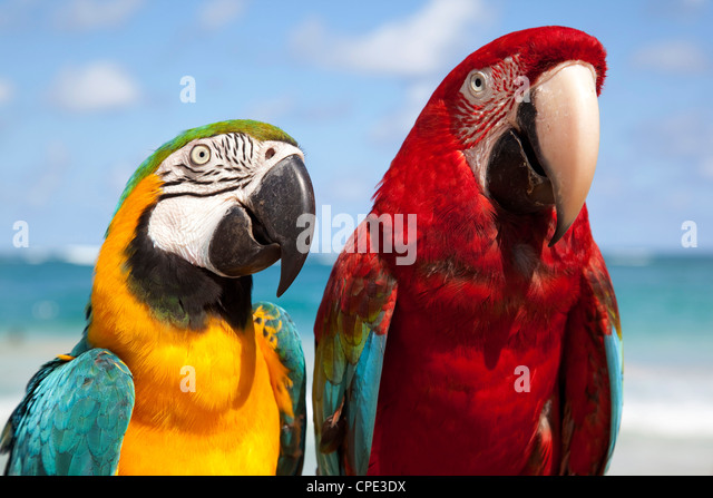Colourful parrots, Punta Cana, Dominican Republic, West Indies, Caribbean, Central America - Stock Image
