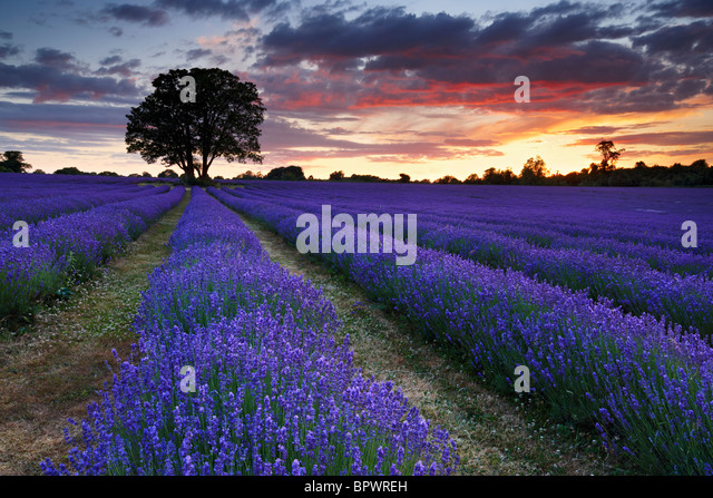 A beautiful summers evening at overlooking lavender farm. - Stock Image