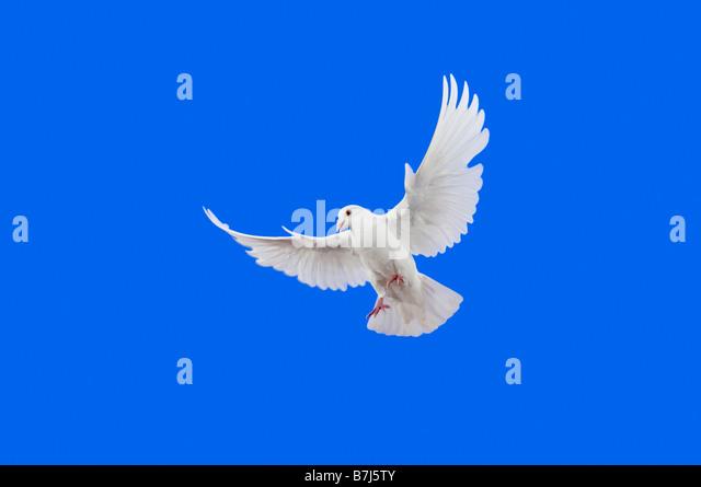 White Dove in flight. - Stock Image