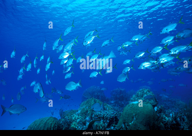 Caribbean underwater school of fish over coral reef visible surface clear caribbean water - Stock Image