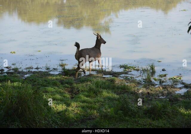 A Sambar deer 'Rusa unicolor' crossing a river in Kaziranga national park in Assam, India. - Stock Image