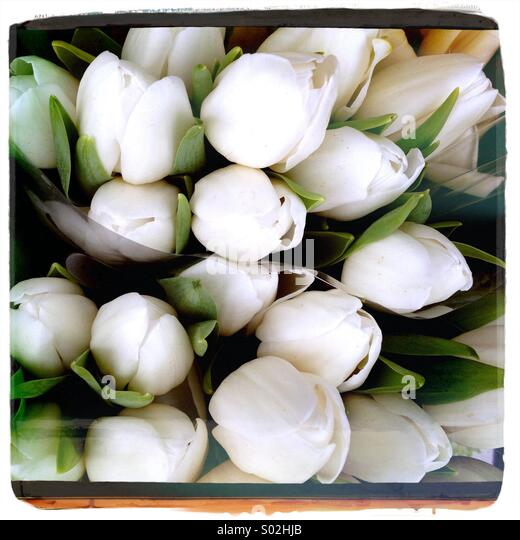 White Tulips - Stock Image