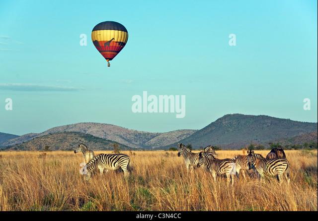 South Africa, near Rustenburg, Pilanesberg National Park. Herd of Burchell's Zebras, Equus burchelli). Balloon. - Stock Image