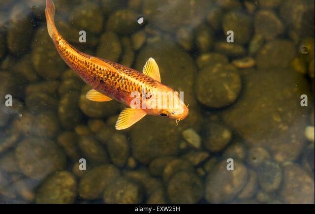 Koi pond fountain stock photos koi pond fountain stock for Black and gold koi fish
