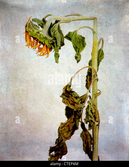 Withered exhausted sunflower, vintage look still life. - Stock-Bilder