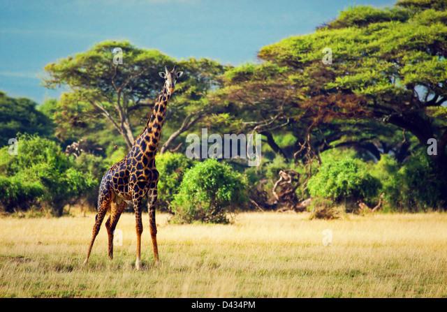 Single giraffe on savanna. Safari in Amboseli, Kenya, Africa - Stock Image
