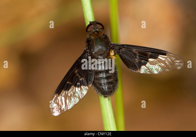 Dusky beefly (Anthrax anthrax), sitting at a grass blade, Germany - Stock Image