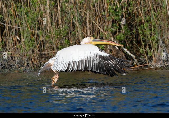 great white pelican (Pelecanus onocrotalus) adult in flight over water, river Danube, Romania - Stock Image
