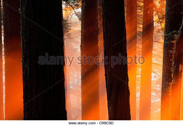 Setting sun and mist in an old growth forest. - Stock Image