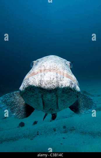 potato cod grouper, Epinephelus tukula, Sodwana Bay, South Africa, India Ocean - Stock-Bilder