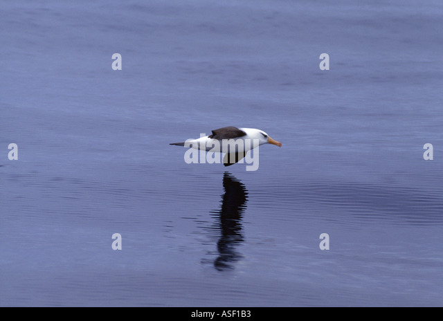 Campbell black browed albatross Campbell albatross gliding low over silky open sea West of Chatham Islands New Zealand - Stock Image