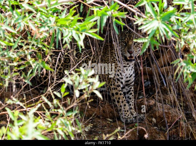 Jaguar peering out from the undergrowth - Stock Image