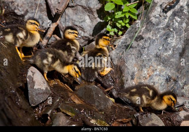A group of newborn Mallard chicks walk thru rocks on way to water near Indian along Turnagain Arm, Alaska - Stock Image