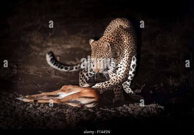Young male Leopard (Panthera pardus) playing with kill after successfully hunting a young Impala at night. South - Stock-Bilder