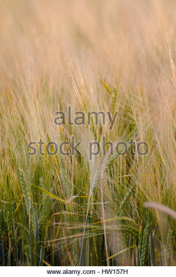 Golden fields of grain and grass. - Stock Image
