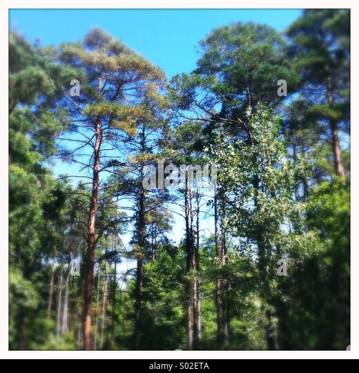 Pine Forest, Ontario, Canada - Stock-Bilder
