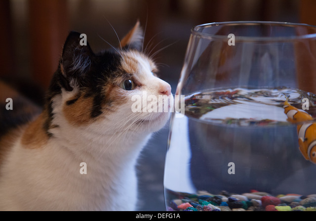 cat peers in goldfish bowl - Stock Image