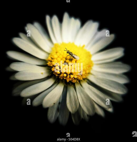 Fly on English Daisy flower - Stock Image