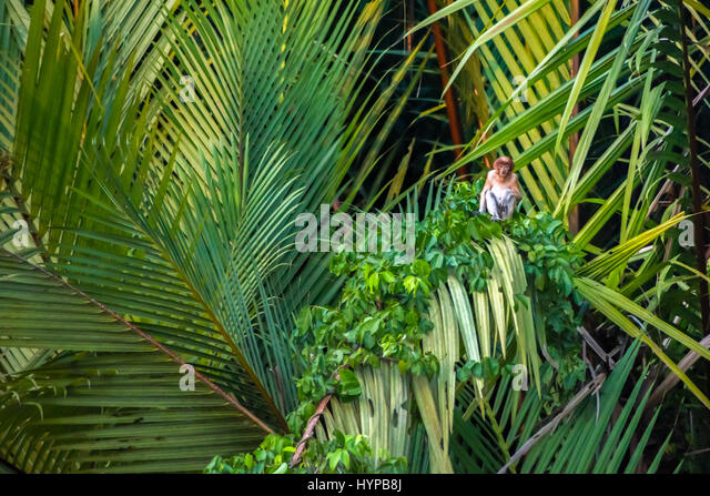 A young proboscis monkey sitting on mangrove palm trees. - Stock Image
