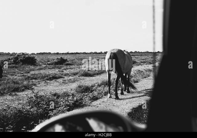 A New Forest pony from the passenger side window of a car - Stock Image