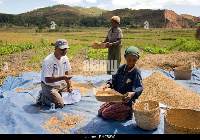 Elcolbere village hard-working women farmers Maria Moniz & Domingues da Silva sort and glean their rice and - Stock Image