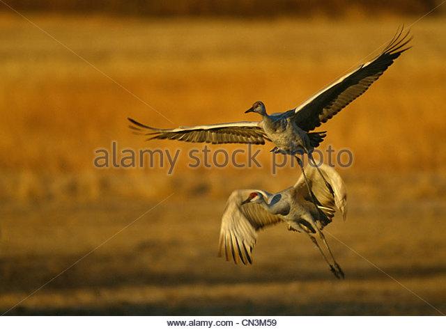 Sandhill Cranes, Bosque del Apache National Wildlife Refuge, New Mexico - Stock-Bilder