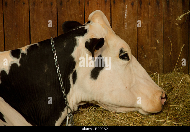 Milk Cow Black And White Stock Photos & Milk Cow Black And ...