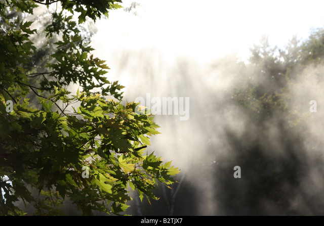 Maple leaves in the smoke and sunlight - Stock Image