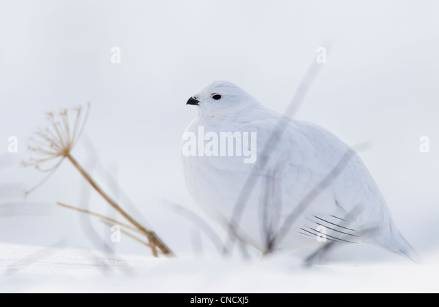 Willow Ptarmigan in white winter plumage sitting behind bare branches on snowpack, Chugach Mountains, Alaska, Winter - Stock Image