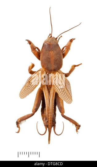Gryllotalpa gryllotalpa, Mole cricket - Stock Image
