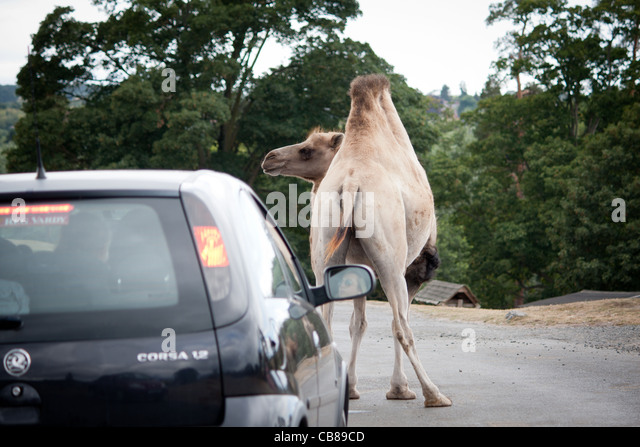 Camel car stock photos camel car stock images alamy for Camel motors on park and ajo