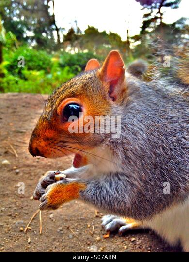 Squirrel in woodland - Stock Image