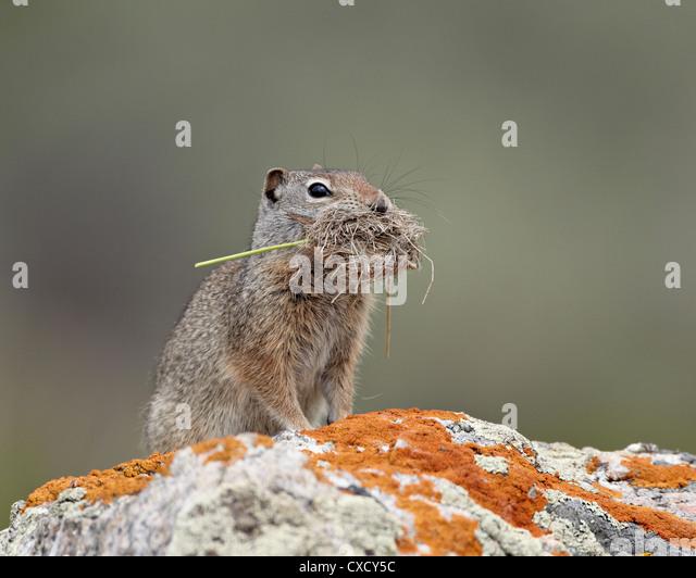 Uinta ground squirrel (Urocitellus armatus) with nesting material, Yellowstone National Park, Wyoming, United States - Stock Image