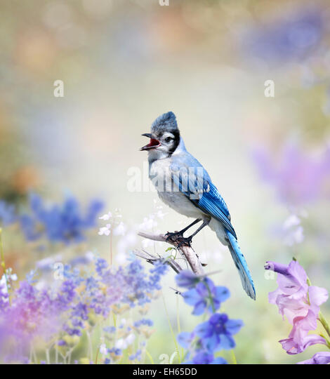 Blue Jay Perched In The Garden - Stock Image
