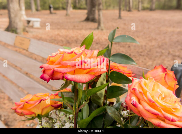 Close Up of Roses on Park Bench Memorial - Stock Image