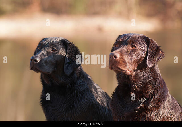 Two wet Labrador Retriever dogs sitting side by side - Stock Image