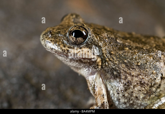 California tree frog (Pseudacris cadaverina) - Stock-Bilder