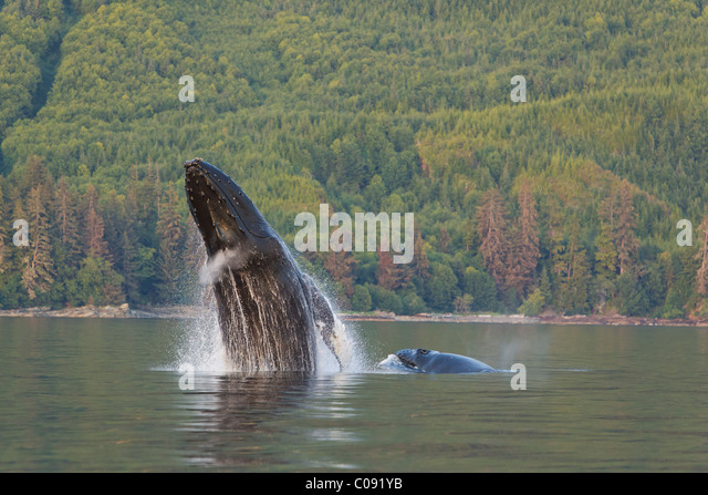 A Humpback Whale and her calf breaches from the calm waters of Frederick Sound, Inside Passage, Alaska - Stock-Bilder