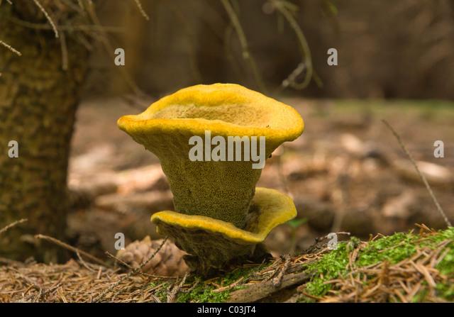 Velvet-top Fungus (Phaeolus schweinitzii) - Stock Image