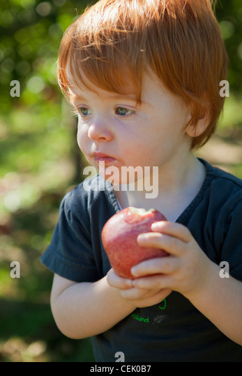 Agriculture - A little boy eats a fresh apple at a local family owned u-pick apple orchard / Fennville, Michigan, - Stock Image