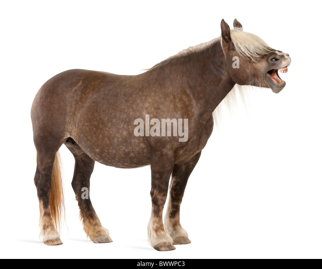 Comtois horse, a draft horse, Equus caballus, 10 years old, standing with mouth open in front of white background - Stock Image