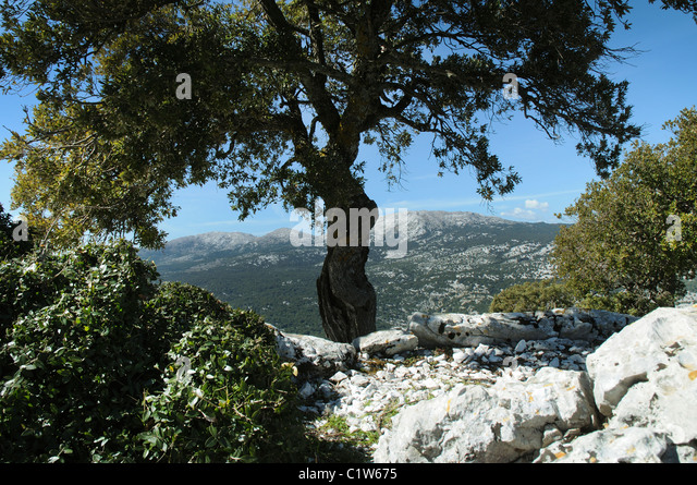 Old oak tree, Supramonte region, Sardinia, Italy - Stock Image