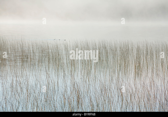 mist on a lake with reeds; ontario, canada - Stock Image