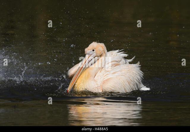 Rose's pelican, Pelecanus onocrotalus, - Stock Image