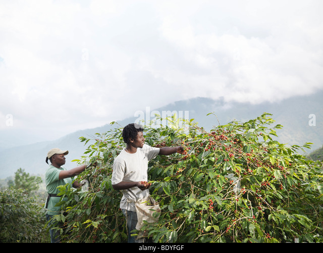 Workers Picking Coffee Beans - Stock Image
