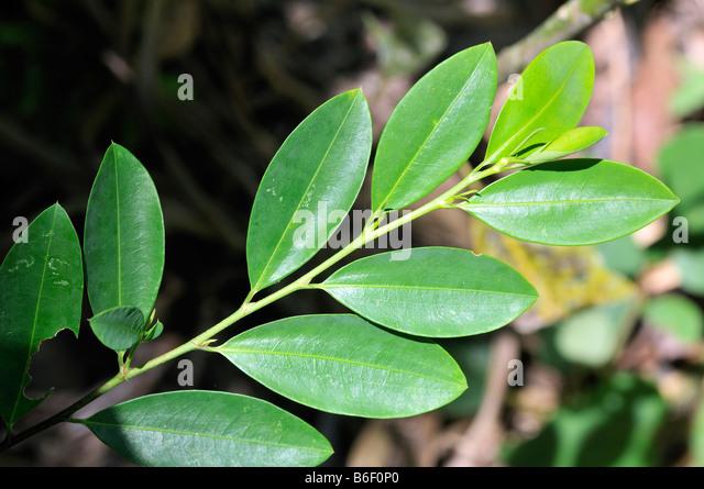 [Jeu] Association d'images - Page 5 Coca-leaves-bolivia-south-america-b6f0p0