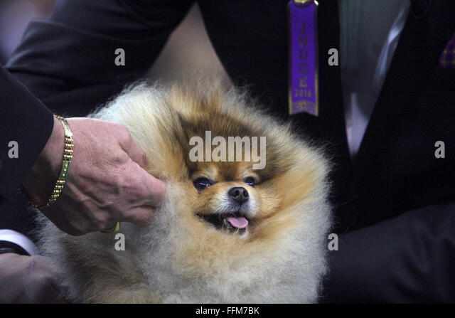 New York, USA. 15th February, 2016. GCH Hitimes What The Inferno, a Pomeranian, prepares for the Toy competition - Stock Image